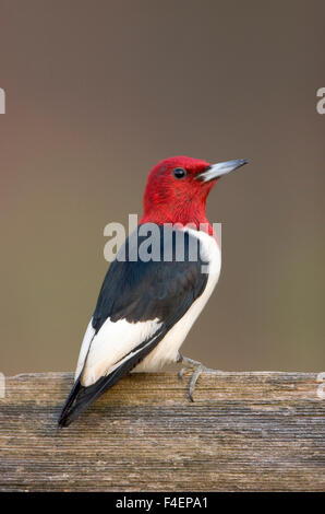 Red-headed Woodpecker (Melanerpes erythrocephalus) on fence Marion, Illinois, USA. - Stock Photo