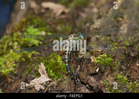 Swamp Darner (Epiaeschna heros) female ovipositing laying eggs on log in water, Marion Co., IL - Stock Photo