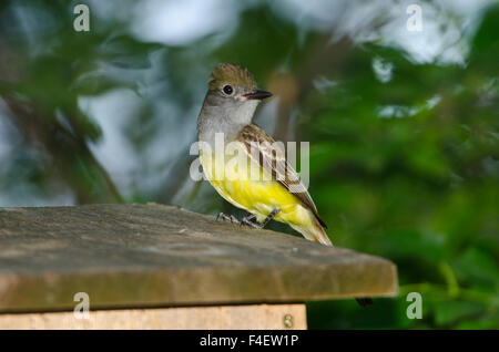 Great Crested Flycatcher Baby