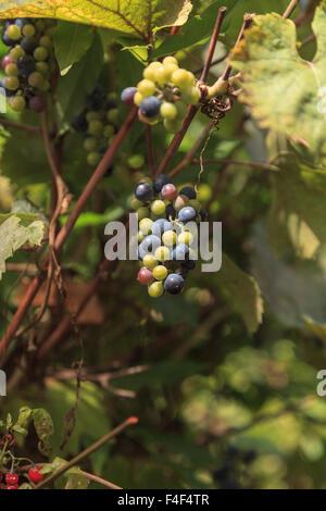 River bank wild grape, Vitis riparia, vine growing green grapes in summer - Stock Photo