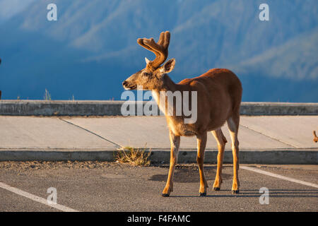 Olympic National Park, Hurricane Ridge. Early morning Black Tail buck in the visitor center parking lot. - Stock Photo