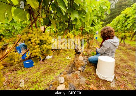 USA, Washington, Whidbey Island. Woman picking Madeline grapes at harvest in a Washington winery. - Stock Photo