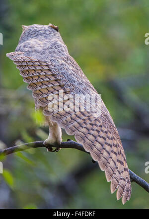 USA, Wyoming, Great Horned Owl juvenile stretching wing. - Stock Photo