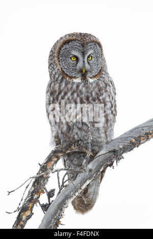Wyoming, Sublette County, Great Gray Owl portrait. - Stock Photo