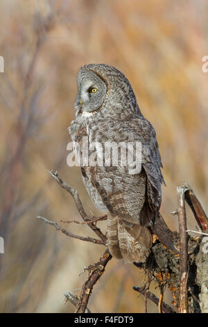 Wyoming, Sublette County, Great Gray Owl roosting on root snag. - Stock Photo