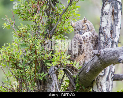 Wyoming, Sublette County, Great Horned Owl sleeping. - Stock Photo
