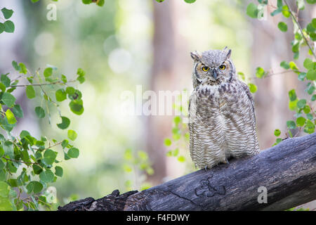 Wyoming, Sublette County, Great Horned Owl roosting on log. - Stock Photo