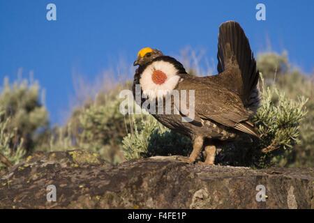 Dusky Grouse, courtship display - Stock Photo