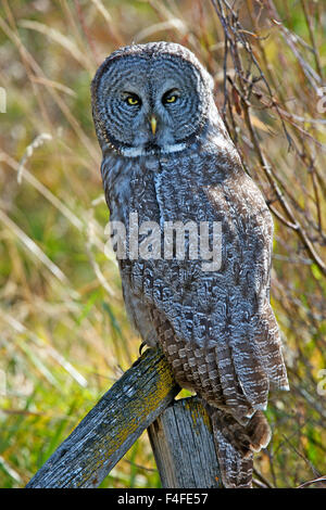 A juvenal Great Grey Owl, the largest owl in the world, is distributed ac ross the Northern Hemisphere. (Large format - Stock Photo