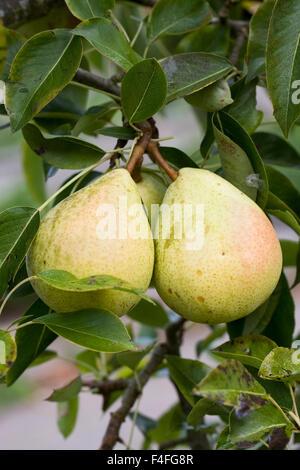 Pyrus communis. Pear 'Invincible' delwinor. - Stock Photo