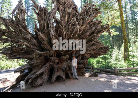 Fallen Monarch, roots belonging to redwood (Sequoioideae), Wellingtonia (Sequoiadendron giganteum), Mariposa Grove - Stock Photo