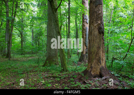 Bark less spruces and old oak in old summertime deciduous stand of Bialowieza Forest,Bialowieza Forest,Poland,Europe - Stock Photo