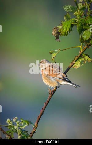 Common linnet, Linaria cannabina, songbird perched on a branch singing a morning song during sunset.