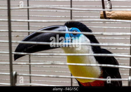 Toucan, Ramphastos vitellinus - Stock Photo