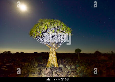 Quiver Tree Forest outside of Keetmanshoop, Namibia at night on a full moon with stars in the sky. - Stock Photo