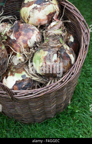 Hippeastrum. Amaryllis Royal Velvet Bulbs in a basket at the Malvern Autumn Show, Worcestershire, UK - Stock Photo