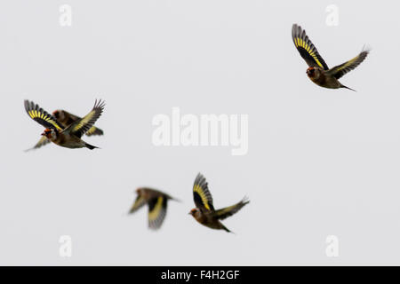 Small flock of Goldfinches - Stock Photo