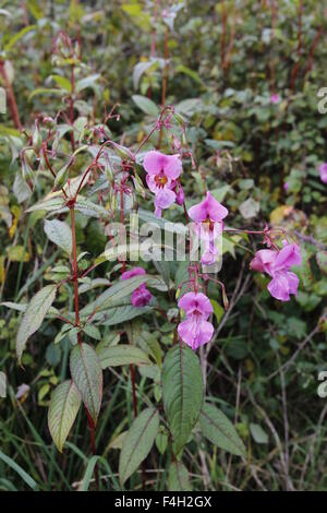 Himalayan Balsam (Impatiens Glandulifera) growing on the banks of the River Wye in Gloucestershire