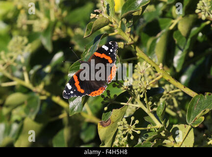 Red Admiral Butterfly resting on ivy - Stock Photo