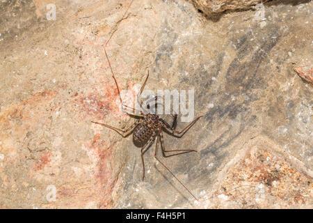 Whip spider or tailless whip scorpion (Amblypygi), Likoma Island, Lake Malawi, Malawi, south-east Africa - Stock Photo