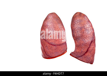 Two human model lungs isolated on white background - Stock Photo