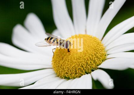 American hoverfly (Eupeodes americanus) on daisy flower - Virginia USA - Stock Photo