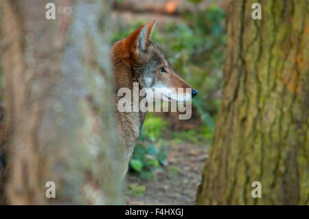 Red wolf, Point Defiance Zoo and Aquarium, Point Defiance Park, Tacoma, Washington - Stock Photo