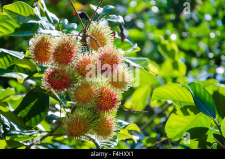 Rambutan Tree In Organic Fruit Garden. - Stock Photo