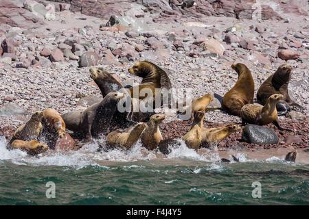 California sea lion (Zalophus californianus) herd stampeding to the sea at Isla San Esteban, Baja California, Mexico - Stock Photo