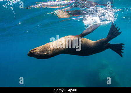 Adult California sea lion (Zalophus californianus) underwater at Los Islotes, Baja California Sur, Mexico, North - Stock Photo