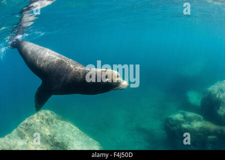 Adult California sea lion (Zalophus californianus) bull underwater at Los Islotes, Baja California Sur, Mexico, - Stock Photo