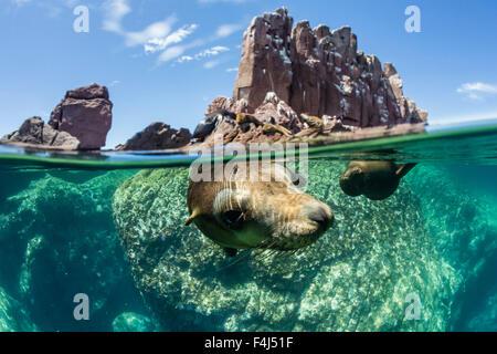 California sea lions (Zalophus californianus), half above and half below at Los Islotes, Baja California Sur, Mexico - Stock Photo