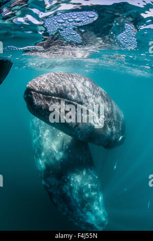 California gray whale (Eschrichtius robustus) mother and calf underwater in San Ignacio Lagoon, Baja California - Stock Photo