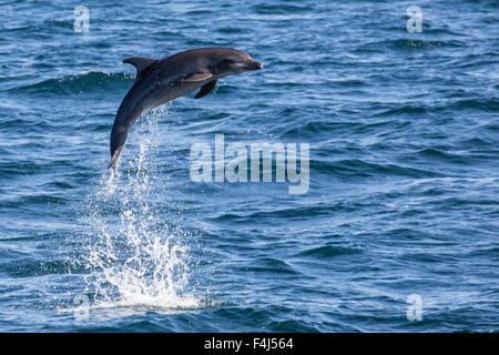 Bottlenose dolphin (Tursiops truncatus), leaping into the air near Isla San Pedro Martir, Baja California, Mexico, - Stock Photo