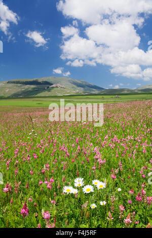 Field of wildflowers, Castelluccio di Norcia, Piano Grande, Monti Sibillini National Park, Perigua District, Umbria, - Stock Photo