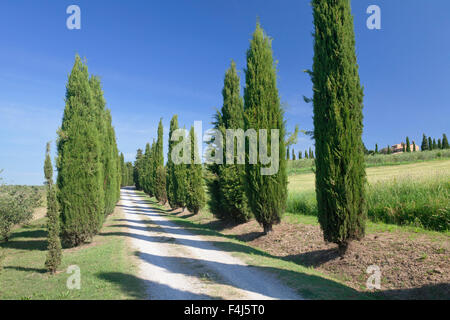 Alley of cypress trees, near Pienza, Val d'Orcia (Orcia Valley), UNESCO World Heritage Site, Siena Province, Tuscany, - Stock Photo