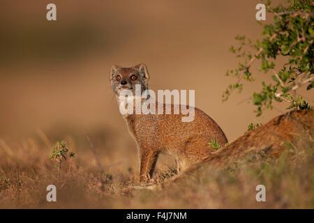 Yellow mongoose (Cynictis penicillata), Addo Elephant National Park, South Africa, Africa - Stock Photo