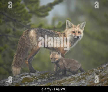 Red fox (Vulpes vulpes) (Vulpes fulva) vixen and kit in the fog, Yellowstone National Park, Wyoming, United States - Stock Photo