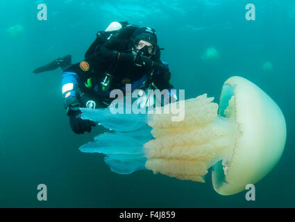 Diver with giant barrel jellyfish off the South Coast, Devon, England, United Kingdom, Europe - Stock Photo