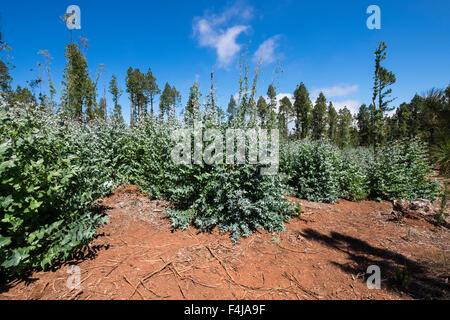 Eucalyptus globulus, Tasmanian blue gum, trees in a nursery in the la Esperanza forest area of Tenerife, Canary - Stock Photo
