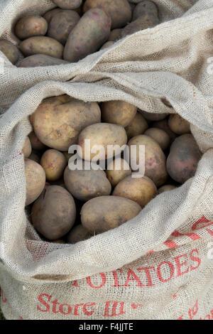 Harvested potatoes in hessian sacks - Stock Photo