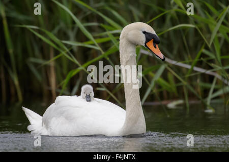 Adult Swan (Cygnus olor) carrying carries single baby cygnet on-board - Stock Photo