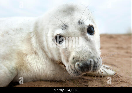 Grey Seal Halichoerus grypus Donna Nook UK - Stock Photo