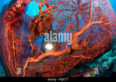 Red sea fan with diver - Stock Photo