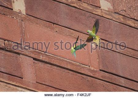 Pair of Rose-ringed parakeets (Psittacula krameri). Agra. Uttar Pradesh. India. - Stock Photo