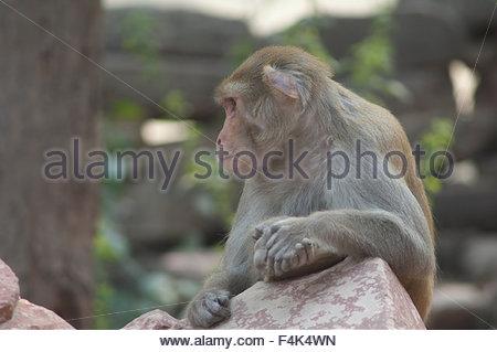 Rhesus macaque (Macaca mulatta). Agra. Uttar Pradesh. India. - Stock Photo