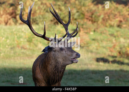 Red Deer Stag with a Jackdaw on its' back. - Stock Photo