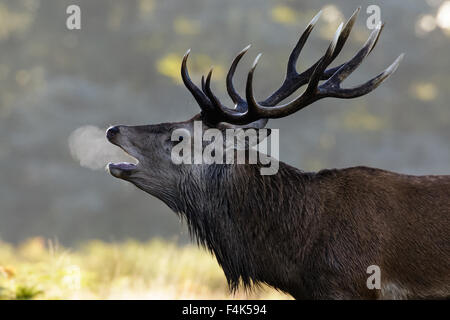Red Deer rut stag (Cervus elaphus) roaring on a chilly morning. - Stock Photo