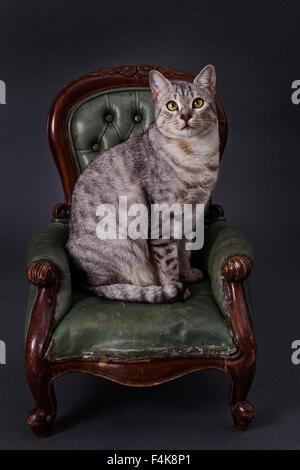 A pedigree Egyptian Mau cat sitting on a green Victorian style miniature leather armchair.a UK cats animal animals - Stock Photo