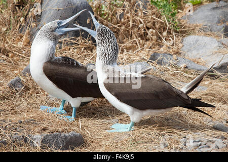 Blue-footed Boobies (Sula nebouxii) courting - Stock Photo